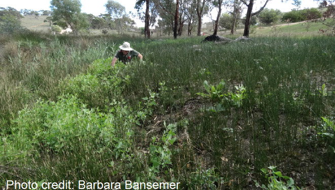 Figure 2: Barbara's husband in a sea of weedy saltbush.