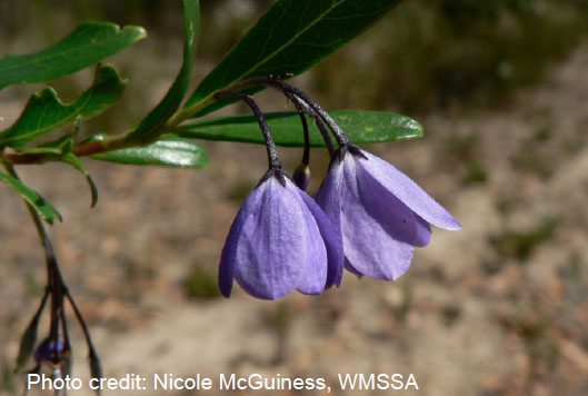 Figure 4: Bluebell creeper (Billardiera heterophylla)